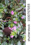 Small photo of Cuphea hyssopifolia Humb