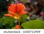 Blooming Orange Nasturtium In ...
