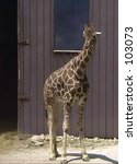 Small photo of Giraffe at the Soutwick Zoo in Mendon, Massachusetts.