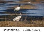 a juvenile black headed ibis...   Shutterstock . vector #1030742671
