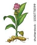 turmeric botanical hand drawing ... | Shutterstock .eps vector #1030778599