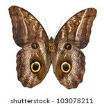 Macro Photo Of Owl Butterfly...