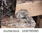 the dead rat lies on the wood | Shutterstock . vector #1030785085