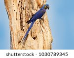 portrait of big blue parrot ... | Shutterstock . vector #1030789345
