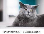 grey british shorthair cat...   Shutterstock . vector #1030813054