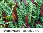 green and white leaf of... | Shutterstock . vector #1030822279