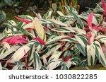 Small photo of Stromanthe sanguinea plant (Alpinia Tricolor)
