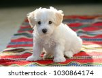 Stock photo white puppy maltese dog sitting on red carpet 1030864174