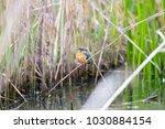 jade  kingfisher  season of... | Shutterstock . vector #1030884154