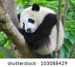 Giant Panda Bear Sitting In Tree