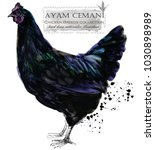 ayam cemani hen. poultry... | Shutterstock . vector #1030898989