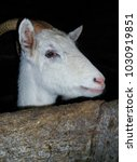 white goat behind the fence in... | Shutterstock . vector #1030919851
