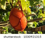 Babay Jack Fruit In Farm ...