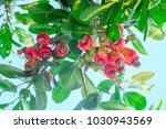 cashew is on the tree.cashew... | Shutterstock . vector #1030943569