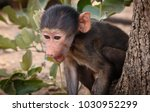 young chacma baboon sitting in... | Shutterstock . vector #1030952299
