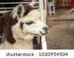 alpaca alpaca smile alpaca... | Shutterstock . vector #1030954504