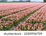 tulips. plantations of pink...   Shutterstock . vector #1030956709