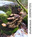 Small photo of Snow on fungi covered tree stump
