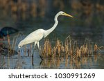 the great egret  also known as... | Shutterstock . vector #1030991269