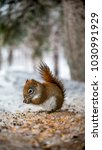 squirrel eating in winter | Shutterstock . vector #1030991929
