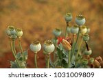 Green Poppy Seed Pods And A Dr...