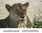 lion in serengeti | Shutterstock . vector #1031020501