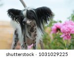 hairless chinese crested dog... | Shutterstock . vector #1031029225
