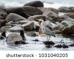 grey heron   ardea cinerea in... | Shutterstock . vector #1031040205