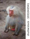 alpha male of hamadryas baboon  ... | Shutterstock . vector #1031043541