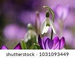 Galanthus  Snowdrop  Galanthus...