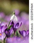 galanthus  snowdrop  galanthus... | Shutterstock . vector #1031093464