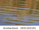 juvenile great crested grebe ... | Shutterstock . vector #1031102101