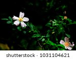 branch of a bush with wild rose ... | Shutterstock . vector #1031104621