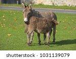herd of free roaming semi feral ...   Shutterstock . vector #1031139079