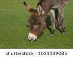 herd of free roaming semi feral ...   Shutterstock . vector #1031139085