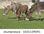 herd of free roaming semi feral ...   Shutterstock . vector #1031139091
