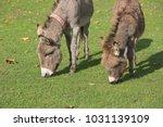 herd of free roaming semi feral ...   Shutterstock . vector #1031139109