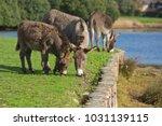 herd of free roaming semi feral ...   Shutterstock . vector #1031139115