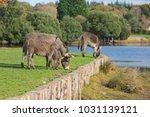 herd of free roaming semi feral ...   Shutterstock . vector #1031139121