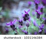 field of lavandulastoechas or... | Shutterstock . vector #1031146384