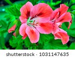 Flowers Of A Geranium.