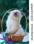 Stock photo balinese kitten sits in a basket with green and purple ribbons outdoors in the garden green bokeh 1031164909