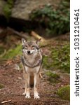 gray wolf  grey wolf  canis... | Shutterstock . vector #1031210461