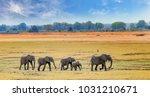 african elephants walking... | Shutterstock . vector #1031210671