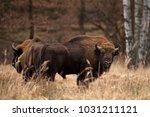 european bison  bison bonasus ... | Shutterstock . vector #1031211121