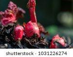 Rhubarb  Rheum Rhabarbarum ...