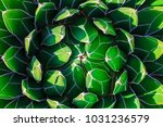 top view of agave victoriae...   Shutterstock . vector #1031236579