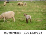 sheep on the meadow in front of ... | Shutterstock . vector #1031239195