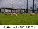 sheep on the meadow in front of ... | Shutterstock . vector #1031239201