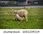 sheep on the meadow in front of ... | Shutterstock . vector #1031239219